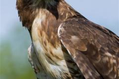 Hawk (Medium)