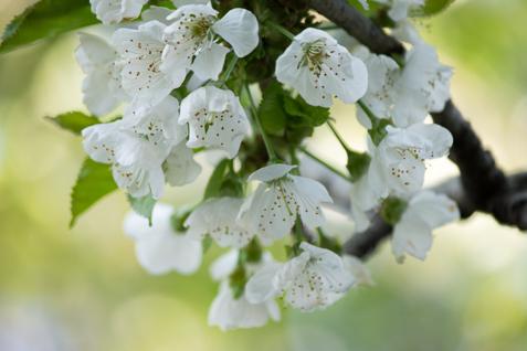 Week-21-Cherry-Blossoms