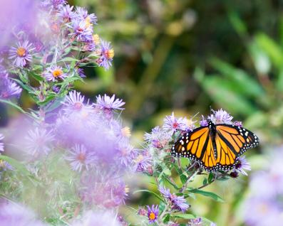 Week-38-Autumn-Monarch
