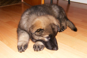 Brodie as a Puppy